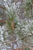 Twigs of pine with cone — Stock Photo