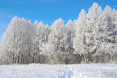 Beautiful winter landscape with larches — Stok fotoğraf