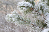 Twig of pine hoarfrost covered — Stock Photo