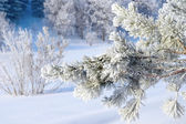 Twig of pine snow covered — Stock Photo