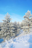 Pines snow covered on the mountain — Stock Photo