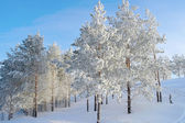 Pines snow covered on the mountain — Stockfoto