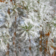 Stock Photo: Twig of pine hoar-frost covered
