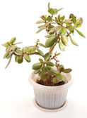 Money tree (crassula plant) — Stock Photo