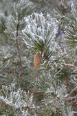 Twig of pine hoar-frost covered — Stock fotografie