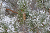 Twigs of pine hoar-frost covered — Stock Photo