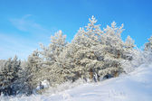 Pines snow covered — Stock Photo