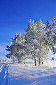 Evening winter landscape with pines — Stock Photo