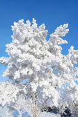 Twigs of pine snow covered — Stockfoto