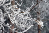 Twig of tree hoar-frost covered — Foto de Stock