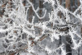Twig of tree hoar-frost covered — Foto Stock