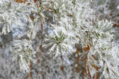 Twig of pine hoar-frost covered — Stock Photo