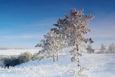 Winter landscape with pines snow covered — Stock Photo