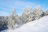 Winter landscape, pines on the hills — Stock Photo