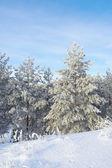 Neve coperta di pini — Foto Stock