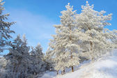 Sneeuw overdekte pines op de heuvel — Stockfoto