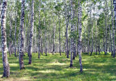 Beautiful summer landscape in birch grove — Stock Photo
