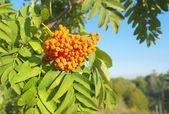 Autumn rowan berries on a tree — Stock Photo