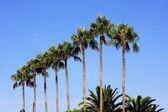 Palmiye ağaçları, cannes — Stok fotoğraf
