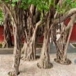 Banyan tree in China — Stock Photo