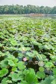 Kvetoucí lotus — Stock fotografie