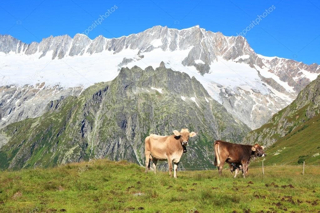 Cows on a pasture against high mountains.   Stock Photo #16049675