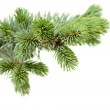 Fir tree — Stock Photo #13979282