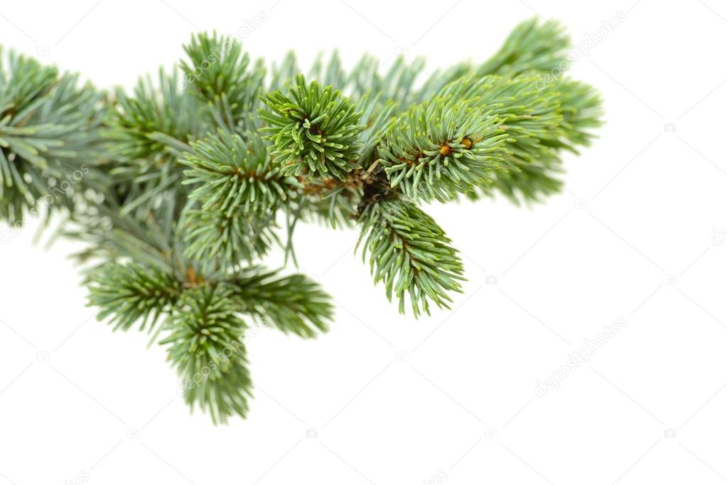 Fir tree isolated on white — Stock Photo #13979282