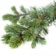 Fir tree — Foto de stock #14710845