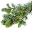 fir tree — Stock Photo #14710845