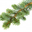 Stock Photo: fir tree
