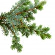 Fir tree — Foto de stock #14710905