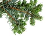 杉木树 — 图库照片