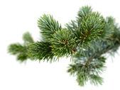 Fir tree — Stockfoto