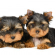 Yorkshire terrier — Foto Stock #19359897