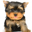 Yorkshire terrier — Stockfoto #19359911