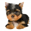 Yorkshire terrier — Stock Photo #19359917