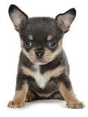 Chihuahua — Stok fotoğraf
