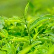 tea leaf — Stockfoto