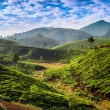 Tea plantations — Stock Photo #22229067