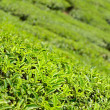tea leaf — Stock Photo #22229121