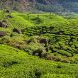 Tea plantations — Stockfoto