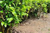 Tea leaf — Stock Photo