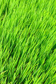 Rice sprout — Stock Photo