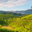 Tea plantations — Stock Photo #32524677