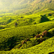 Tea plantations — Stock Photo #32524761