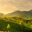 Stock Photo: Tea plantations