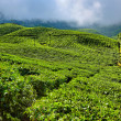 Tea plantations — Stock Photo #32525445