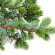 fir tree — Stockfoto