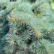 Fir tree — Stockfoto #32526219